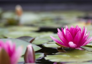 water-lily-water-lily-rose-flower-petals-leaves-pond-lake-water-nature